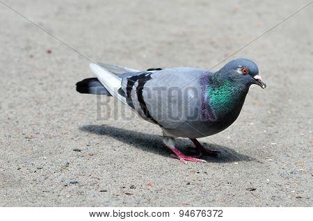 Pigeon. Dove.