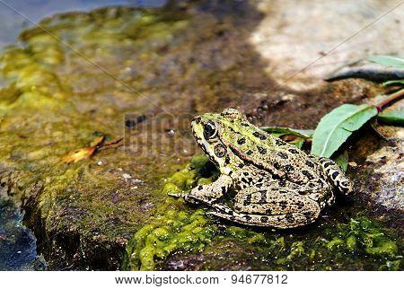 Macro Of Frog