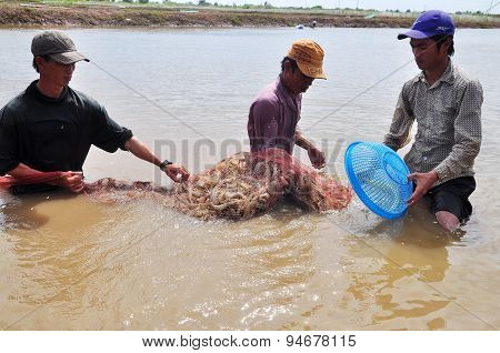 Bac Lieu, Vietnam - November 22, 2012: Fishermen Are Harvesting Shrimp From Their Pond By Fishing Ne