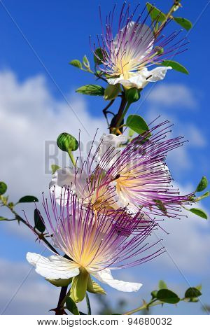Flowers Of Capparis Spinosa, Caper Bush