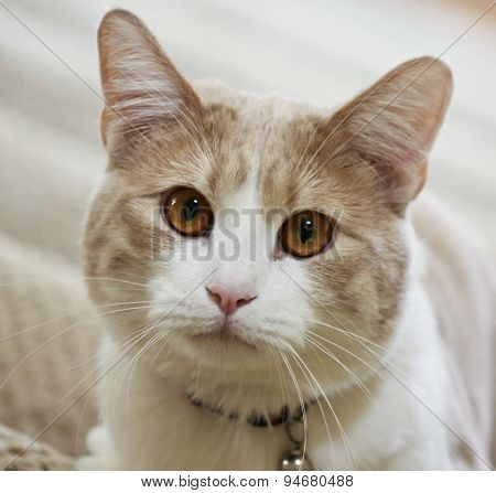 A Close Up Of A Tabby Cream Cat