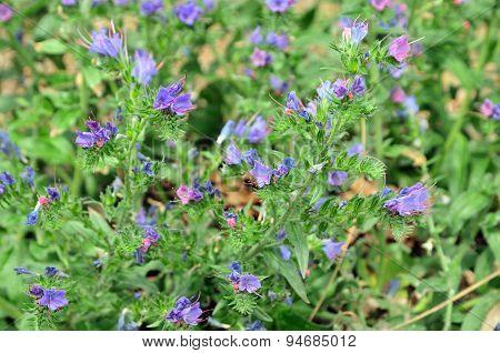 Meadow grass, prairie grass.Hyssop. Blooming medicinal hyssop.