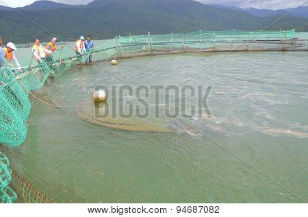 Lam Dong, Vietnam - September 2, 2012:  The Farming Sturgeon Fish In Cage Culture In Tuyen Lam Lake.