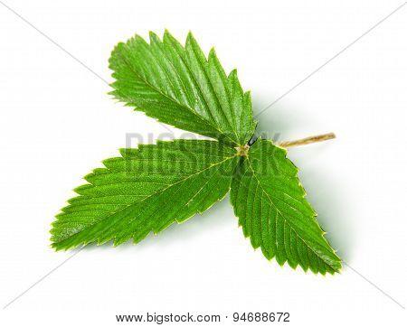 Wild Strawberry Leaf