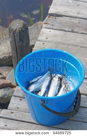 A Blue Bucket Filled With Baltic Herring