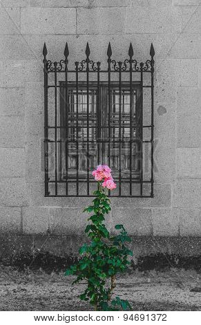 Decolorated Old Window And Rose