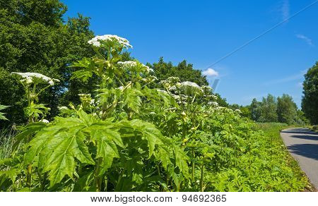 Cow parsnip along a road in summer