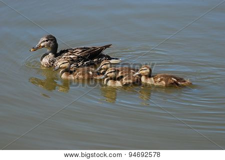 Mother mallard hen with her brood of ducklings