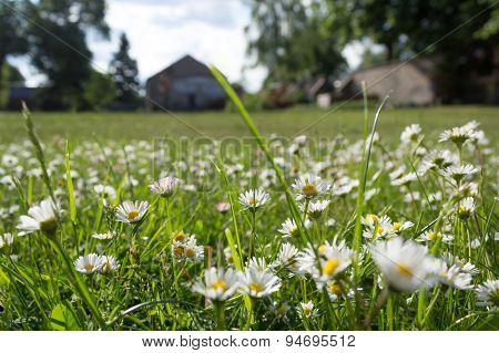 garden, meadow with daisies - daisy flowers