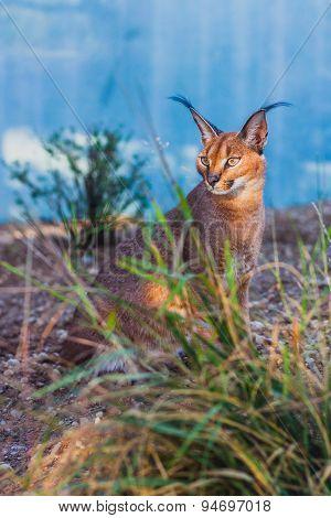 Caracal or desert lynx