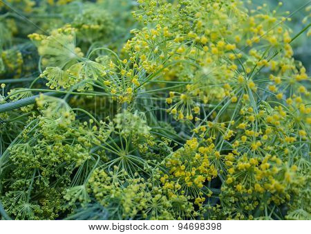 Yellow-green Dill Closeup Bloom. Natural Background