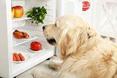 image of labradors  - Cute Labrador near fridge in kitchen - JPG