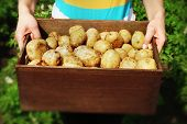 picture of wooden crate  - Female hands with new potatoes in wooden crate in garden - JPG