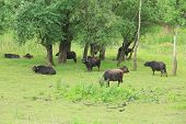picture of nubian  - Black Bull and cow - JPG