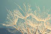 pic of dandelion seed  - Beautiful dandelion with seeds - JPG