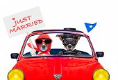 stock photo of married  - couple of just married jack russell dogs driving a funny car for vacation holidays and honeymoon one holding a banner or placard isolated on white background - JPG