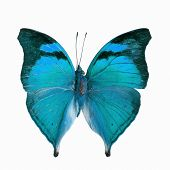 picture of butterfly  - Blue butterfly Autumn Leaf butterfly Nymphalid butterfly  - JPG