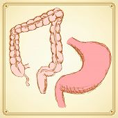 stock photo of rectum  - Sketch stomach and rectum in vintage style vector - JPG