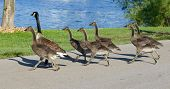picture of mother goose  - The young cackling geese are running across the road