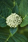 pic of hydrangea  - Close up of an hydrangea in a garden - JPG