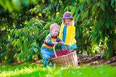 pic of cherries  - Kids picking cherry on a fruit farm - JPG