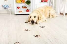 picture of labrador  - Labrador near fridge and muddy paw prints on wooden floor in kitchen - JPG