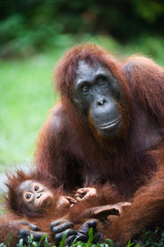 picture of baby animal  - Female the orangutan with the kid on a grass   - JPG