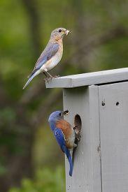 foto of bluebird  - Male and Female Eastern Bluebirds  - JPG
