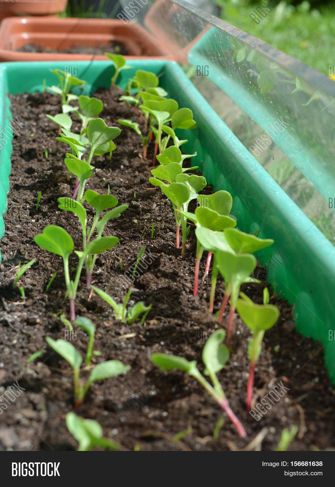 how to grow radish in pots in india