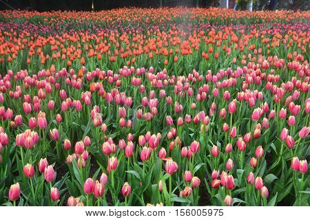 colorful tulips in tulip field, tulips in spring colourful tulip