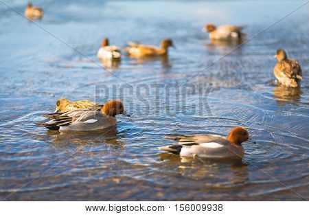 Common Teal or Eurasian Teal (Anas crecca) in Japan