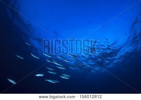 Mackerel fish school underwater in ocean