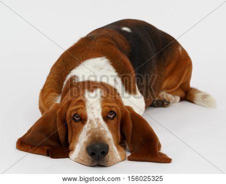 Dog, basset hound stand on the white background, isolated