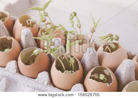 young plants in eggshells soft selective focus eco concept