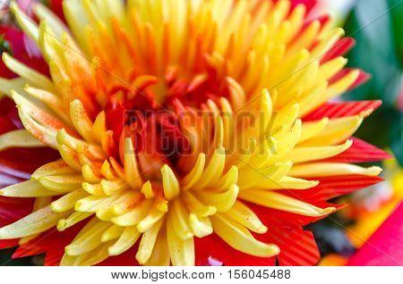 Chrysanthemum disbudded rare yellow red view sort