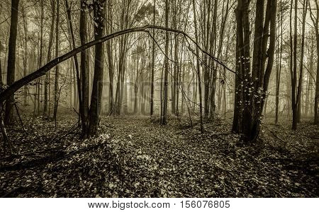 Foggy Forest Path In Michigan. Foggy forest leaf strewn path winding through a northern Michigan forest. Horizontal in black and white with copy space in the foreground