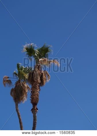 Double Palm Trees6