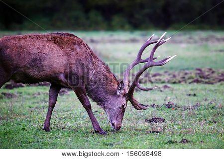 Male deer grazing on the prairie, wildlife