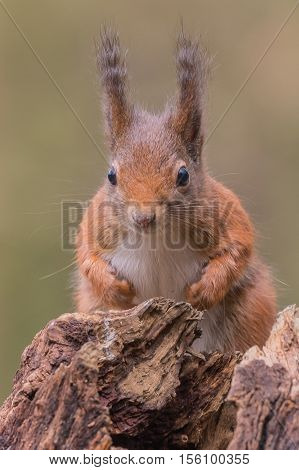 Eurasian red squirrel looking at the photographer