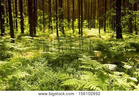 Ferns growing under pine trees with dappled sunlight shining through empty alone ground wandering lost relaxing
