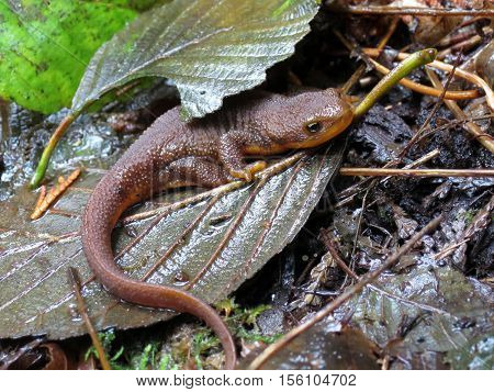 A Rough-skinned Newt on leaves in the forest