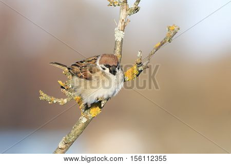 brown bird Sparrow sitting hunched on the branches in spring