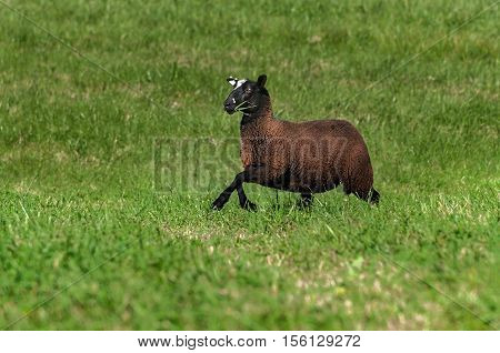 Brown Sheep (Ovis aries) Runs Right With Grass in Its Mouth - at sheep dog herding trials