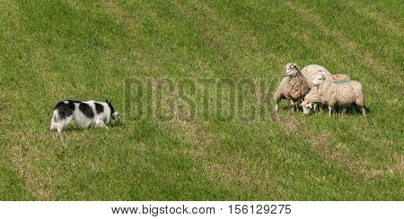 Herding Dog Walks Towards Group of Sheep (Ovis aries) - at sheep dog herding trials