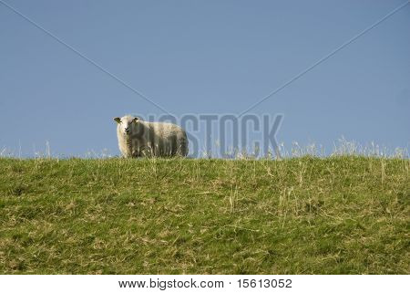 sheep climbing up the grass dike