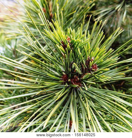 Green pine, Maritime pine, pine cone, pine branch, Christmas pine branch