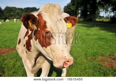 brown white cow in the green farmland