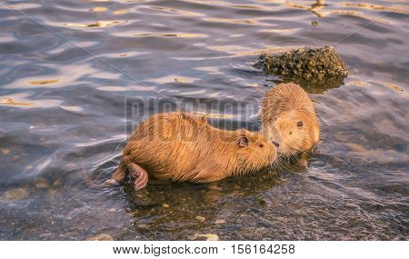 Two cute coypu kissing on water - Two funny river animals the coypu are face to face as if they are kissing. Picture taken on Vltava river in Prague Czech Republic.