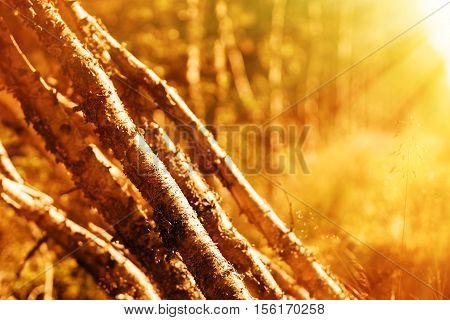 Felled birches with light leak bokeh background hd
