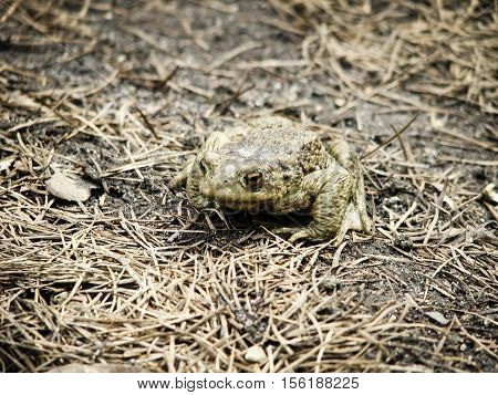 European common frog sitting in a forest